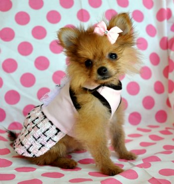 Teacup Pomeranian Clothes Dress The Dog Clothes For