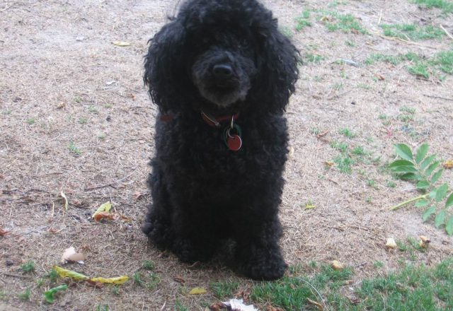 Black Poodle Haircuts
