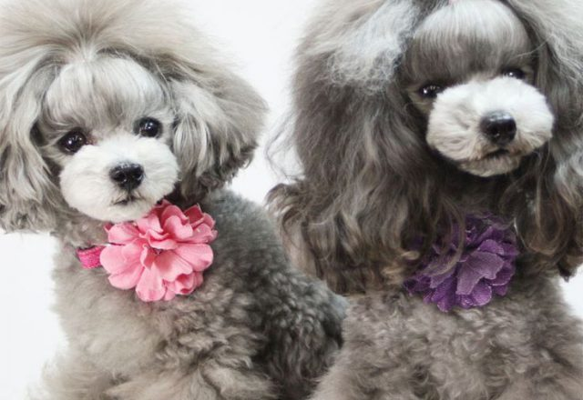 Cute Toy Poodle Haircuts