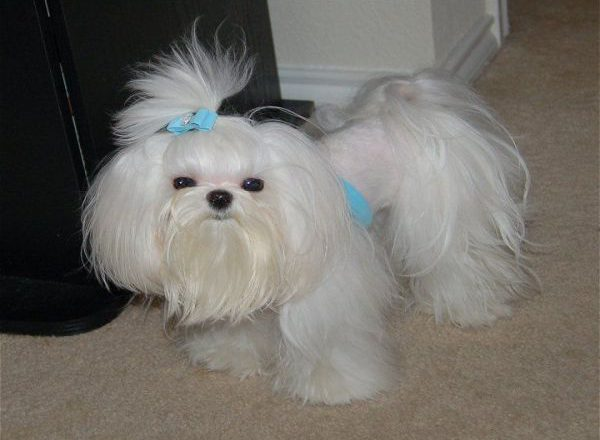Maltese Poodle Hairstyles
