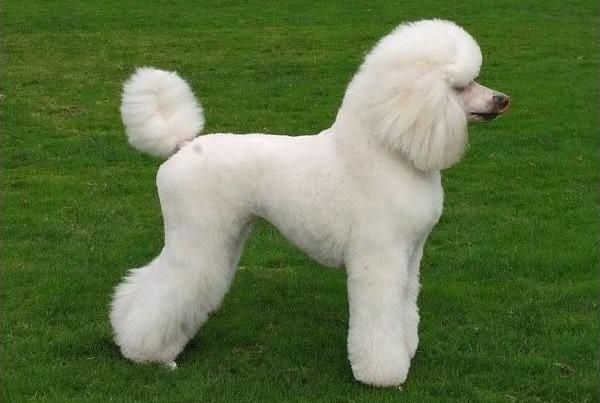 Poodle Hairstyle