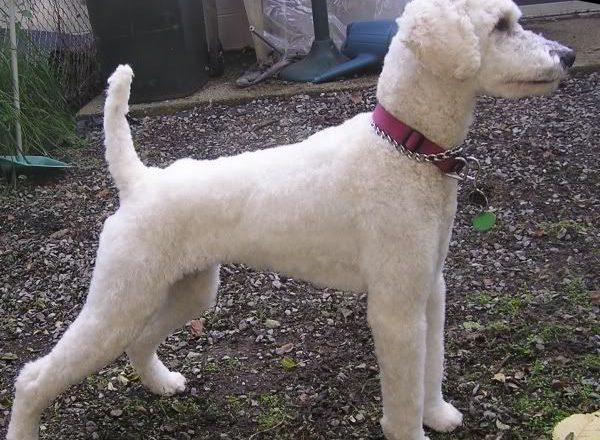 Poodle Short Haircut
