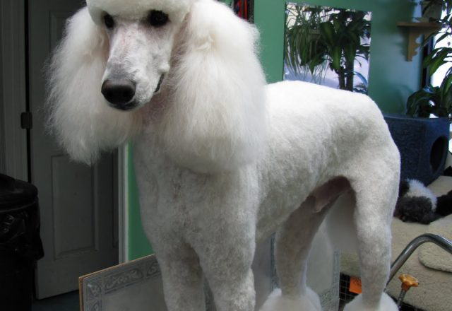 Standard Poodle No Haircut