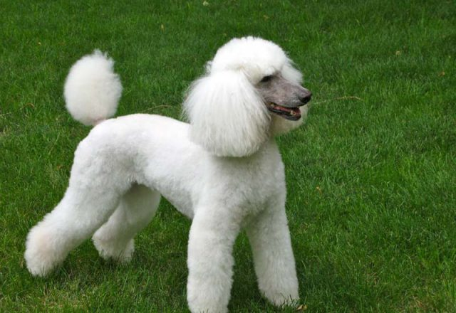 Poodle Haircuts Dress The Dog Clothes For Your Pets