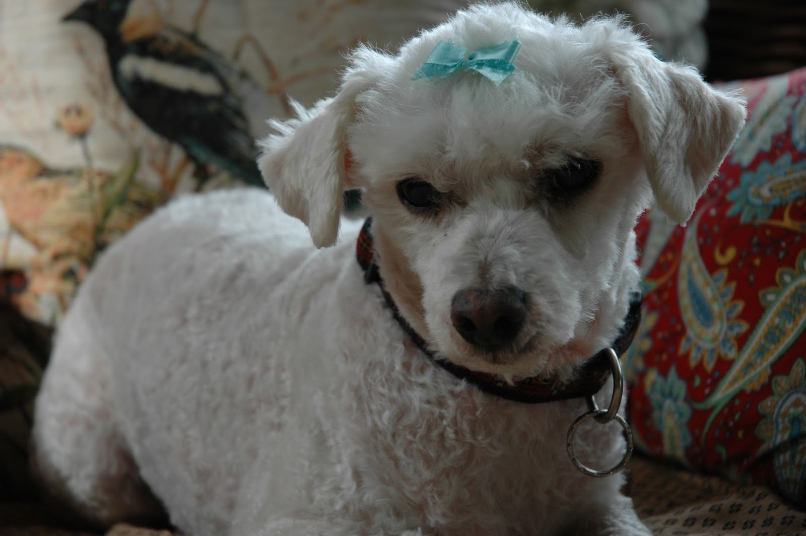 Bad Poodle Haircuts photo - 2