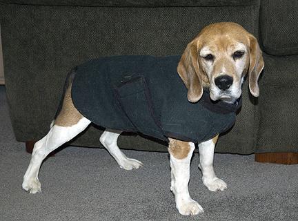 Beagle Clothes photo - 1