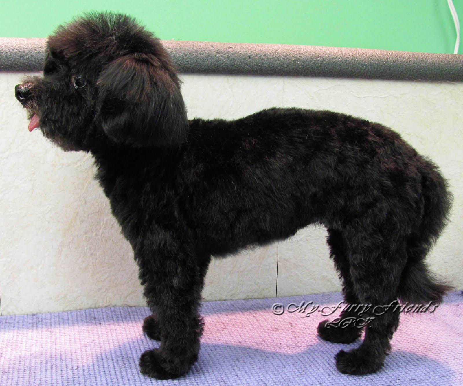 Black Poodle Haircuts photo - 2