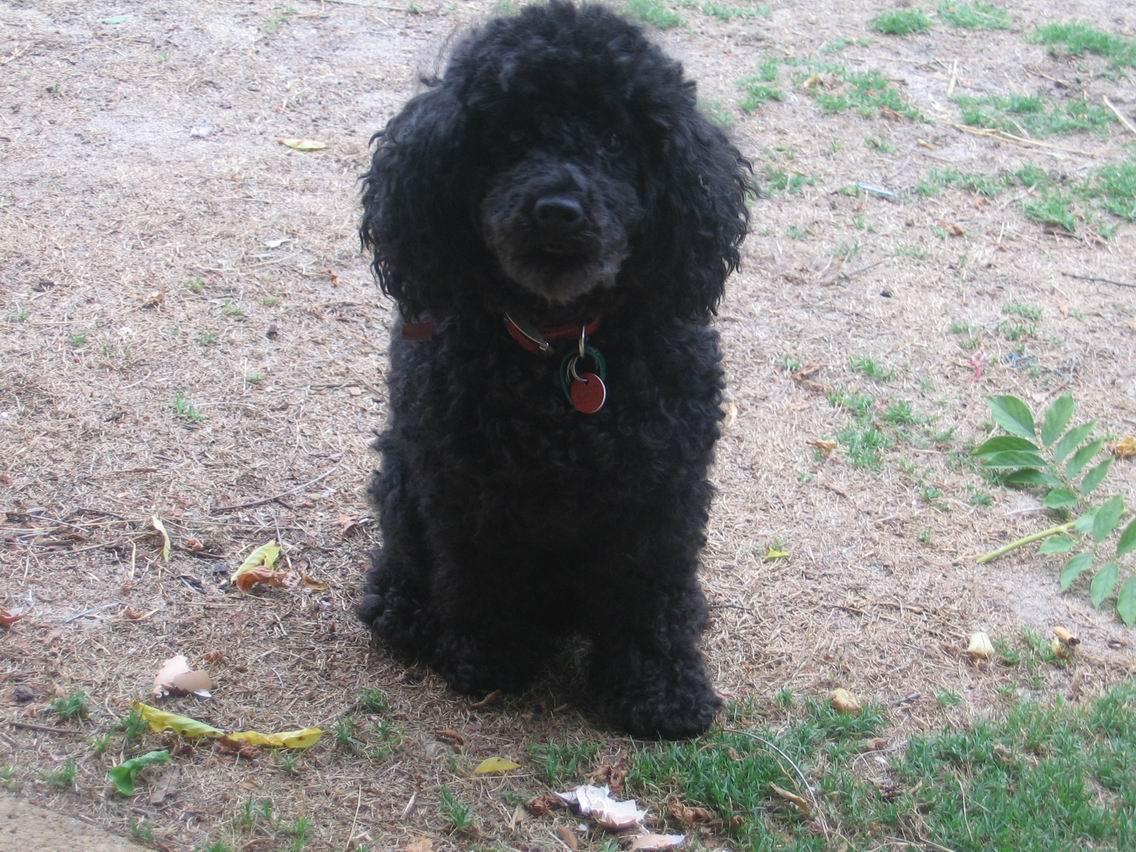 Black Poodle Haircuts photo - 3