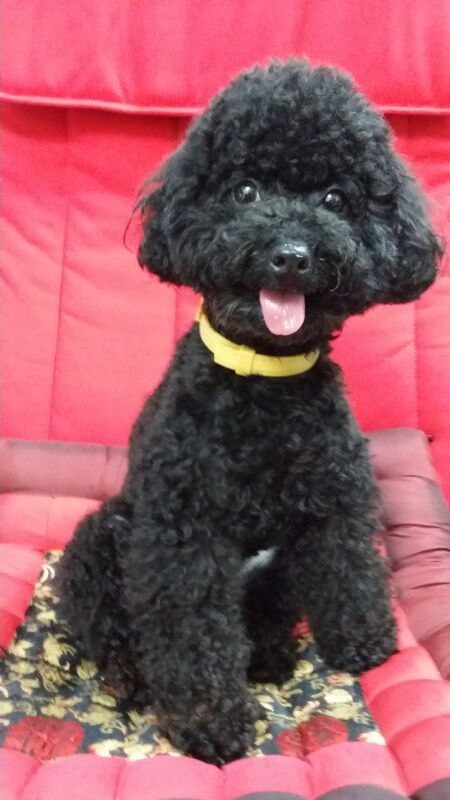 Black Toy Poodle Haircuts photo - 1