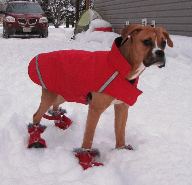 Boxer Dog Coats photo - 1