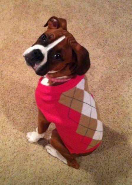 Boxer Dog Sweater photo - 1