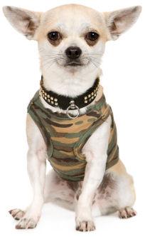 Chihuahua Boy Clothes photo - 1