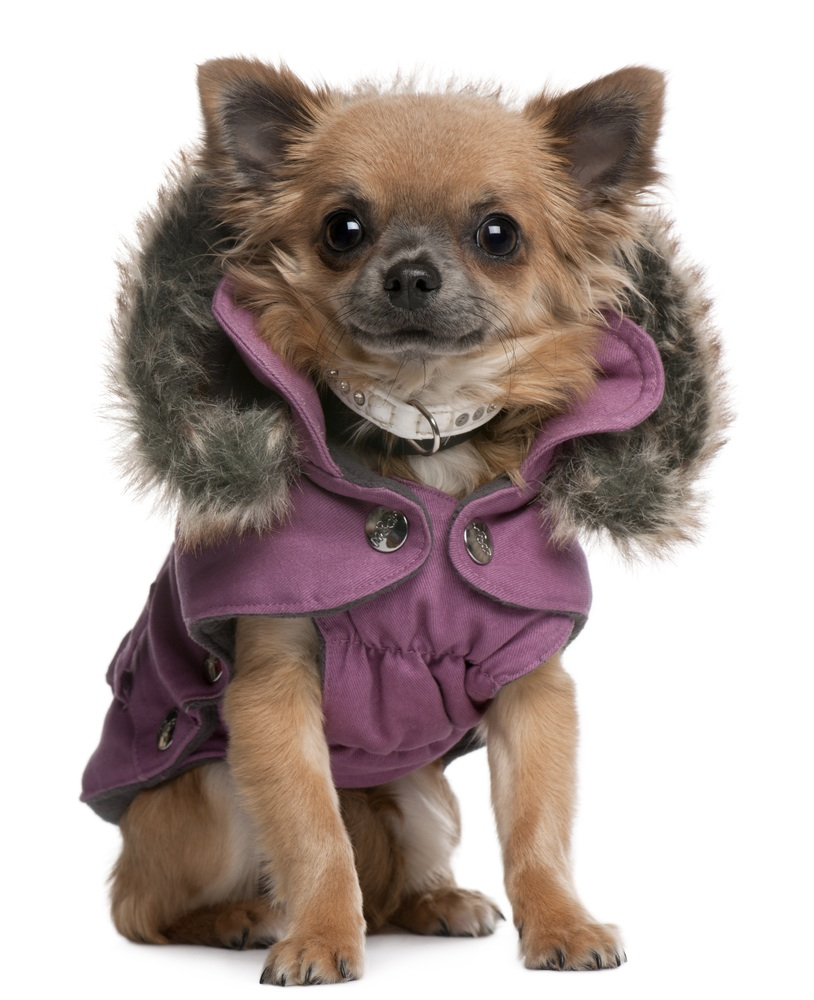 Chihuahua Dog Coat photo - 1