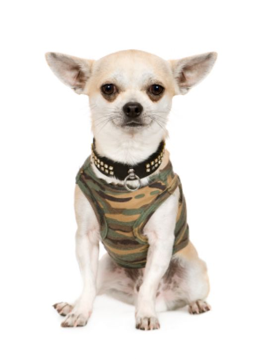 Chihuahua In Clothes photo - 1