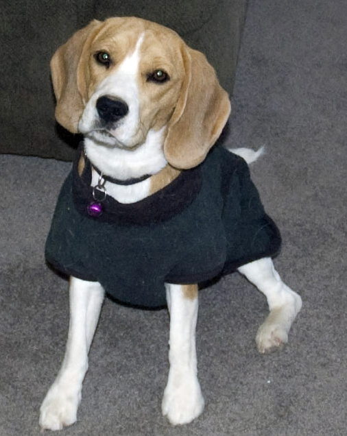 Clothes For Beagles photo - 1