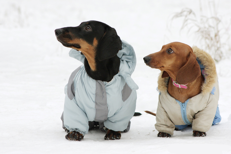 Clothes For Dachshunds photo - 1