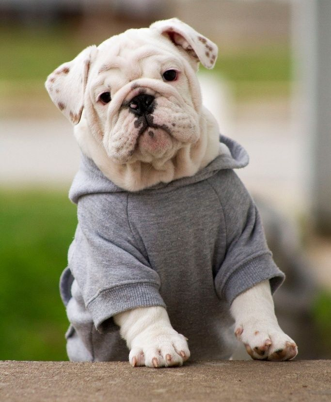 Clothes For English Bulldog photo - 1