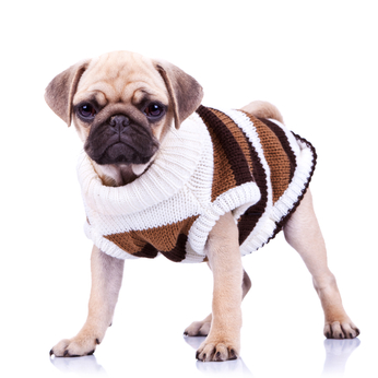 Clothes For Pug Dogs photo - 2