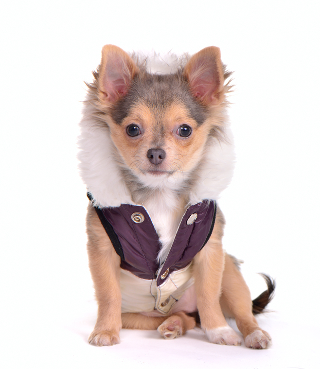 Clothes For Teacup Chihuahua photo - 1