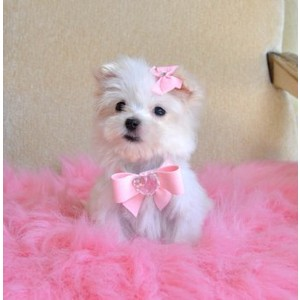 Clothes For Teacup Puppies photo - 2