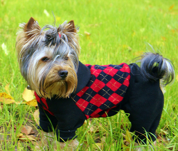 Clothes For Yorkshire Terriers photo - 1