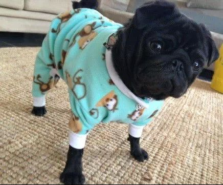 Clothing For Pugs photo - 2