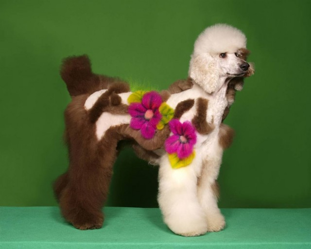 Crazy Poodle Haircuts photo - 2