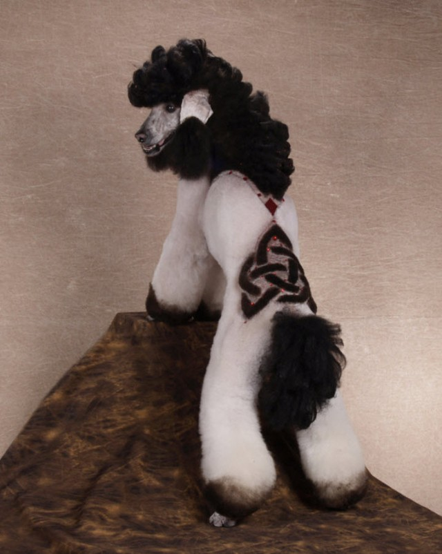 Crazy Poodle Haircuts photo - 3