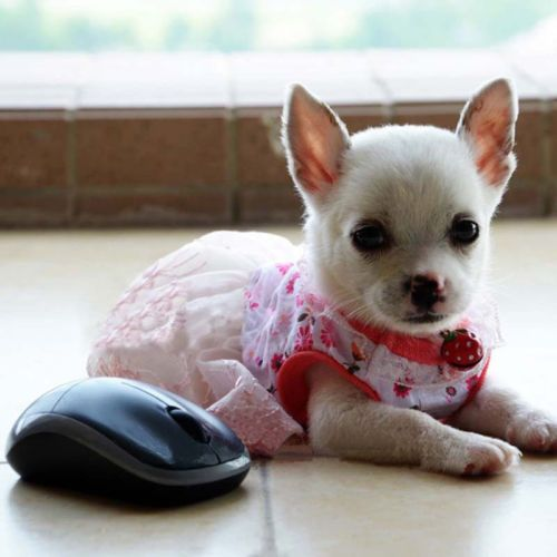 Cute Girl Dog Clothes photo - 1