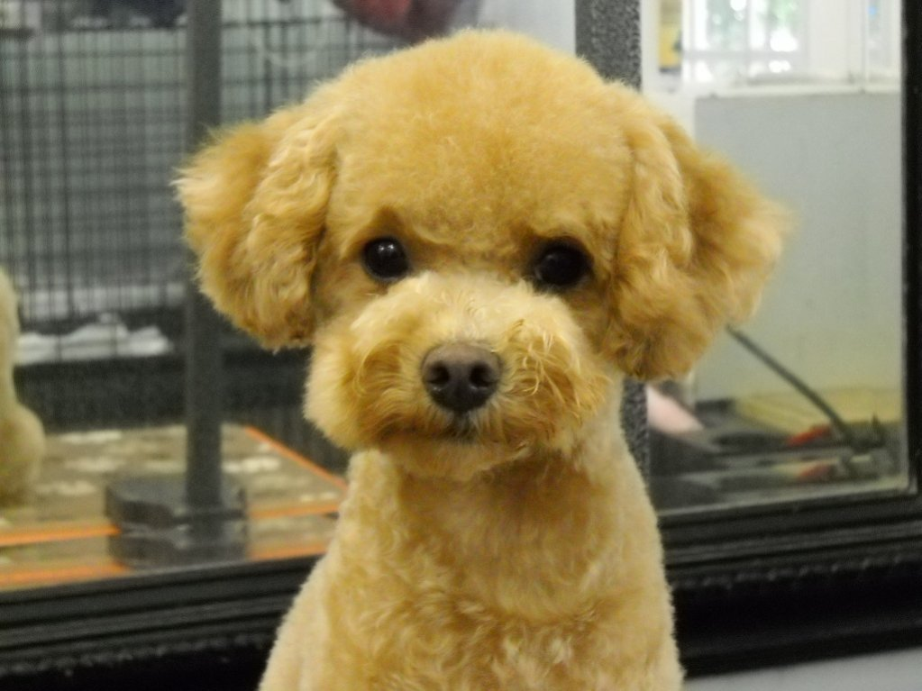 Cute Poodle Haircuts photo - 1