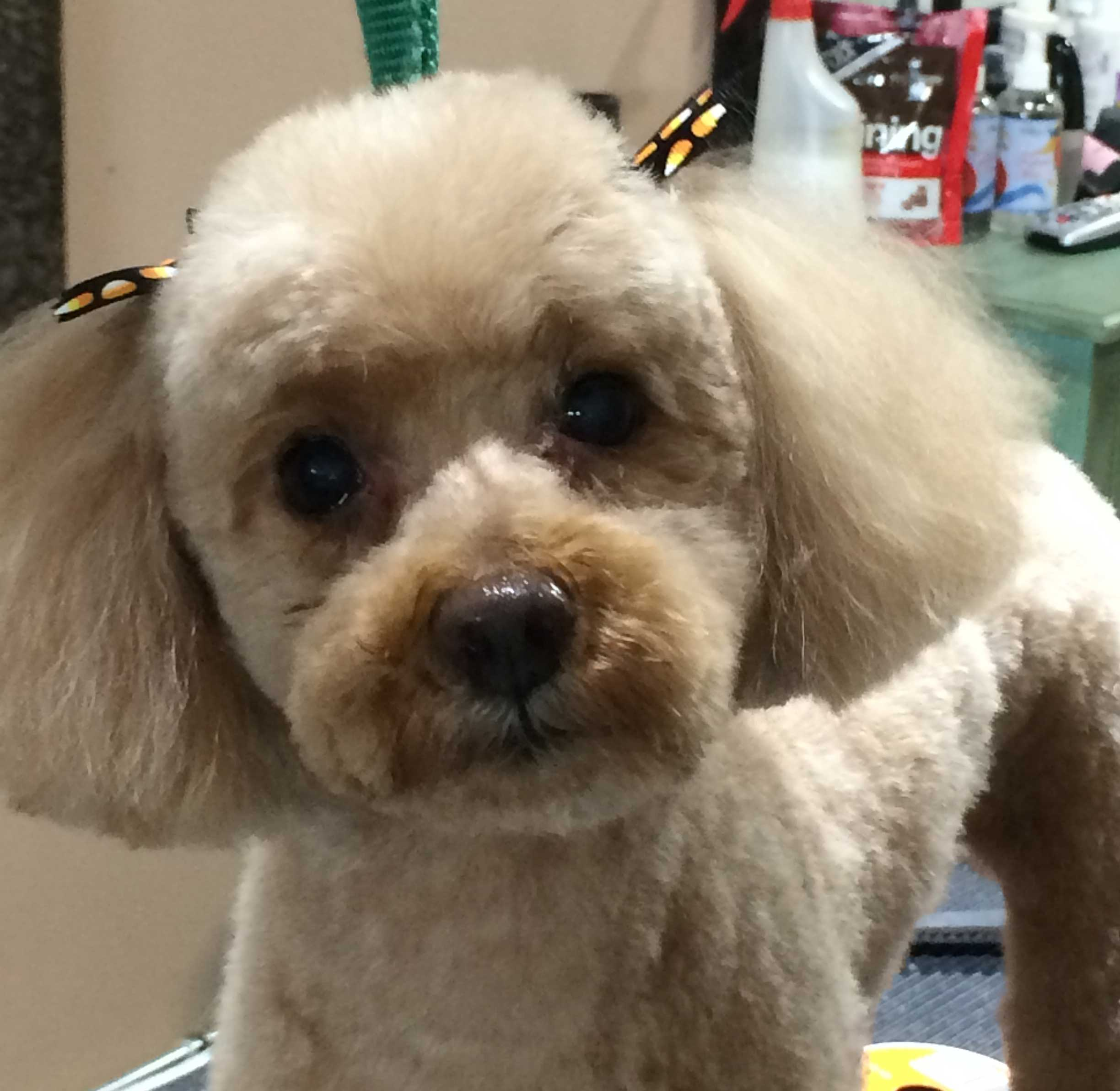 Cute Poodle Haircuts photo - 2