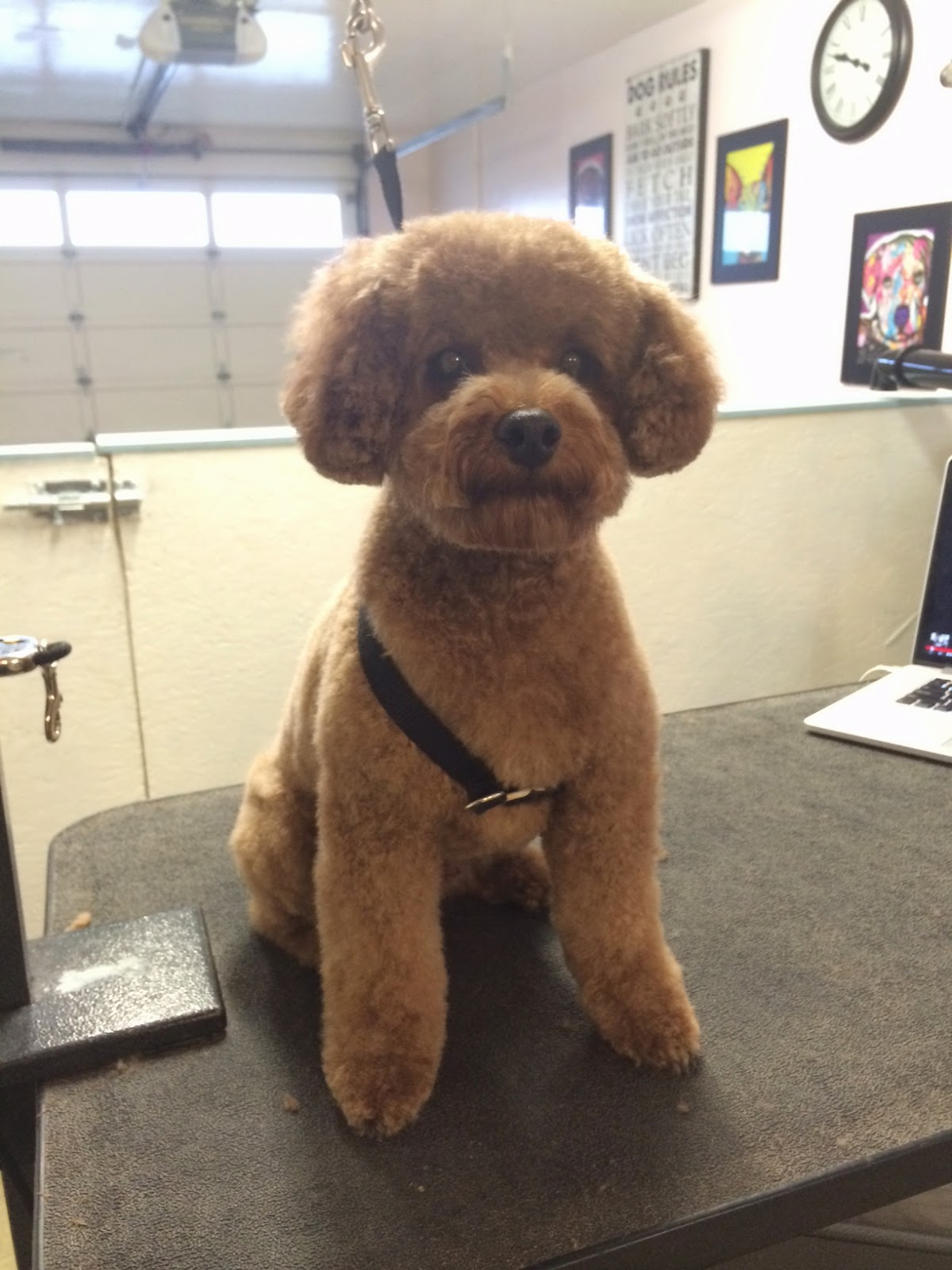 Cute Poodle Haircuts photo - 3