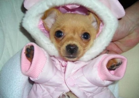 Cute Puppies In Clothes photo - 2
