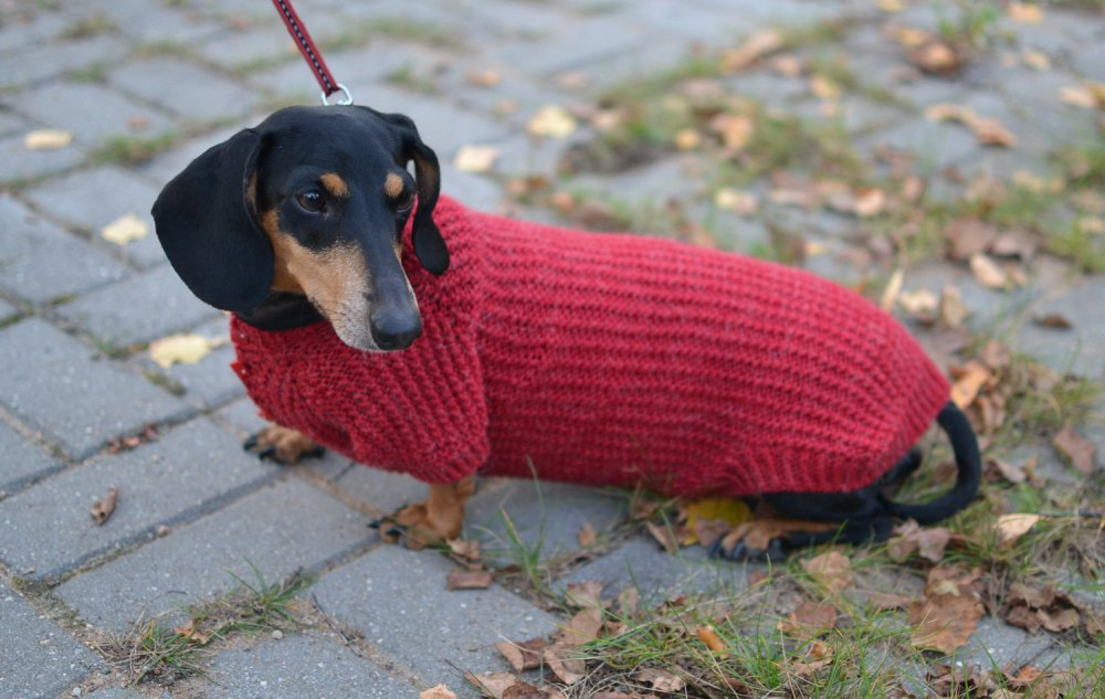 Dachshund Clothes photo - 1