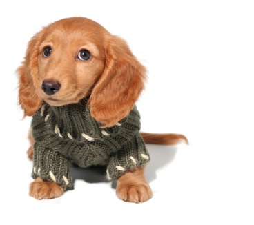 Dachshund Puppy Clothes photo - 1