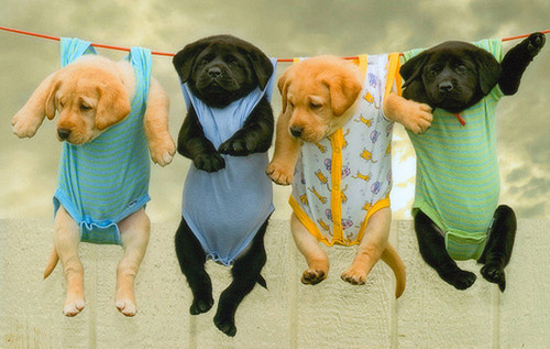 Dog Clothes For Labs photo - 1