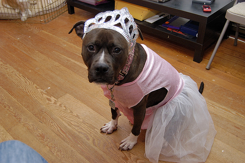 Dog Clothes For Pitbulls photo - 1
