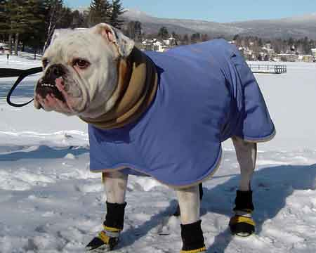 Dog Coats For Bulldogs photo - 1