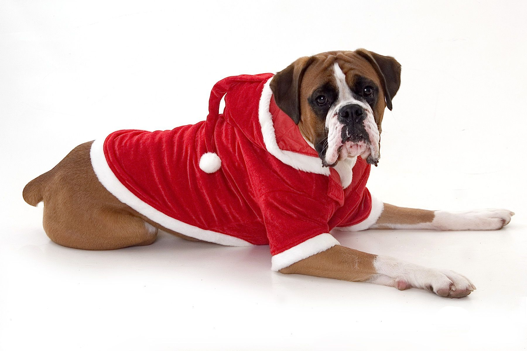 Dog In Santa Outfit photo - 2