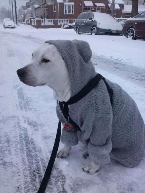 Dogs With Sweaters photo - 3