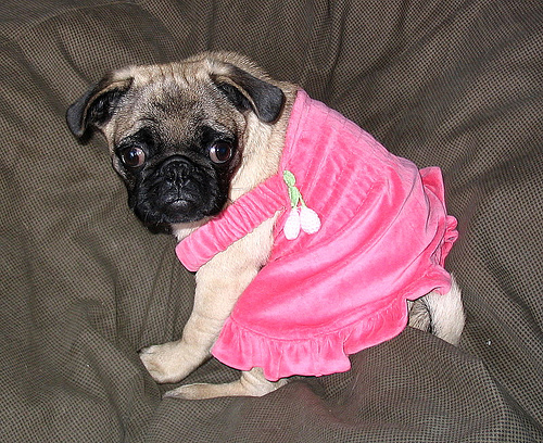 Dresses For Pugs photo - 3