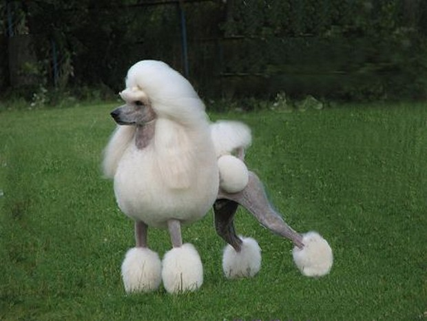 Fancy Poodle Haircuts photo - 1