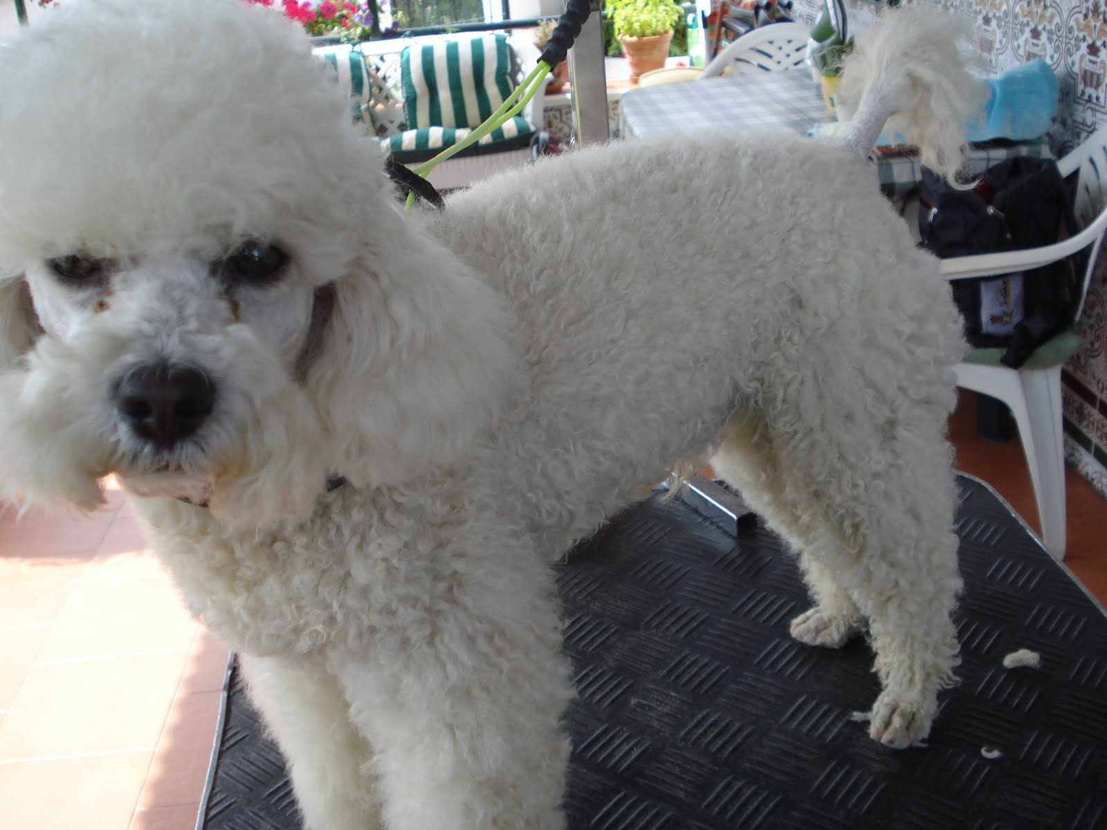 French Poodle Haircuts photo - 2