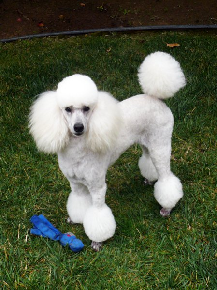 French Poodle Haircuts Dress The Dog Clothes For Your Pets
