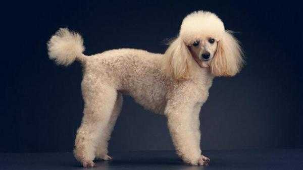 French Poodle Hairstyles photo - 1