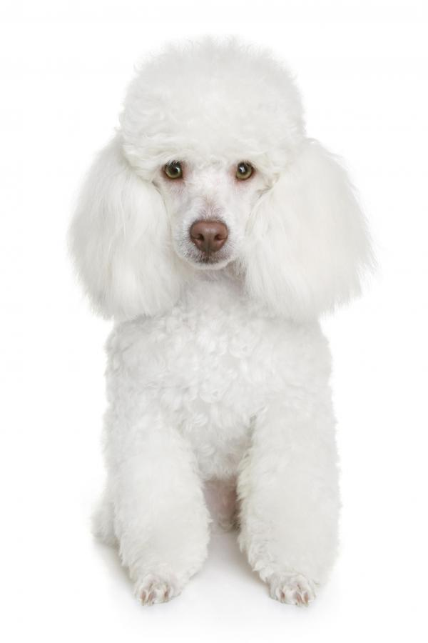 French Poodle Hairstyles photo - 3