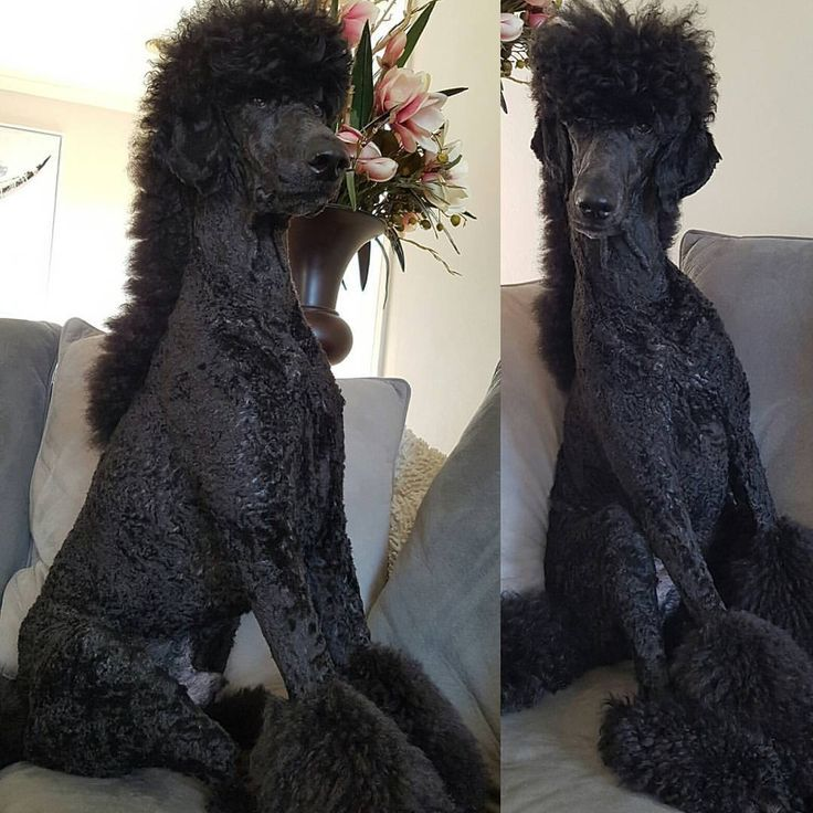 Male Poodle Haircuts photo - 3