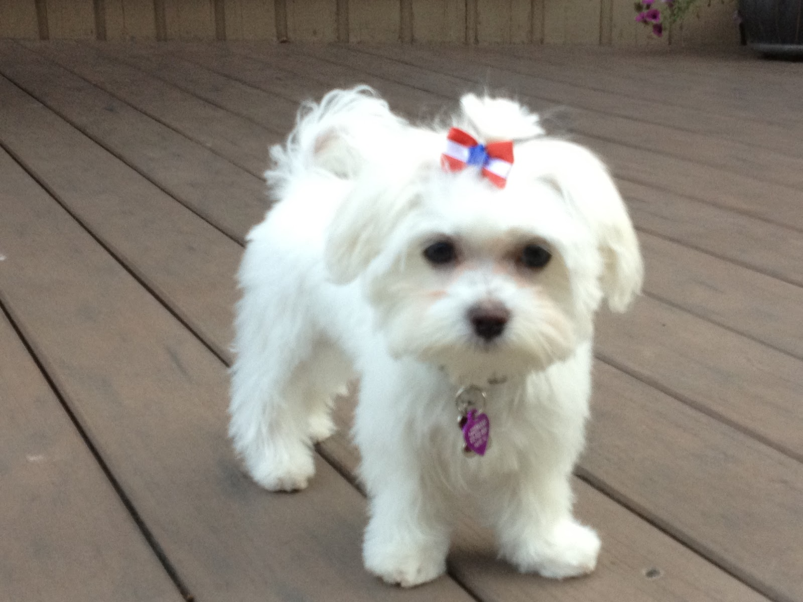 Maltese Haircut Styles Dress The Dog Clothes For Your Pets