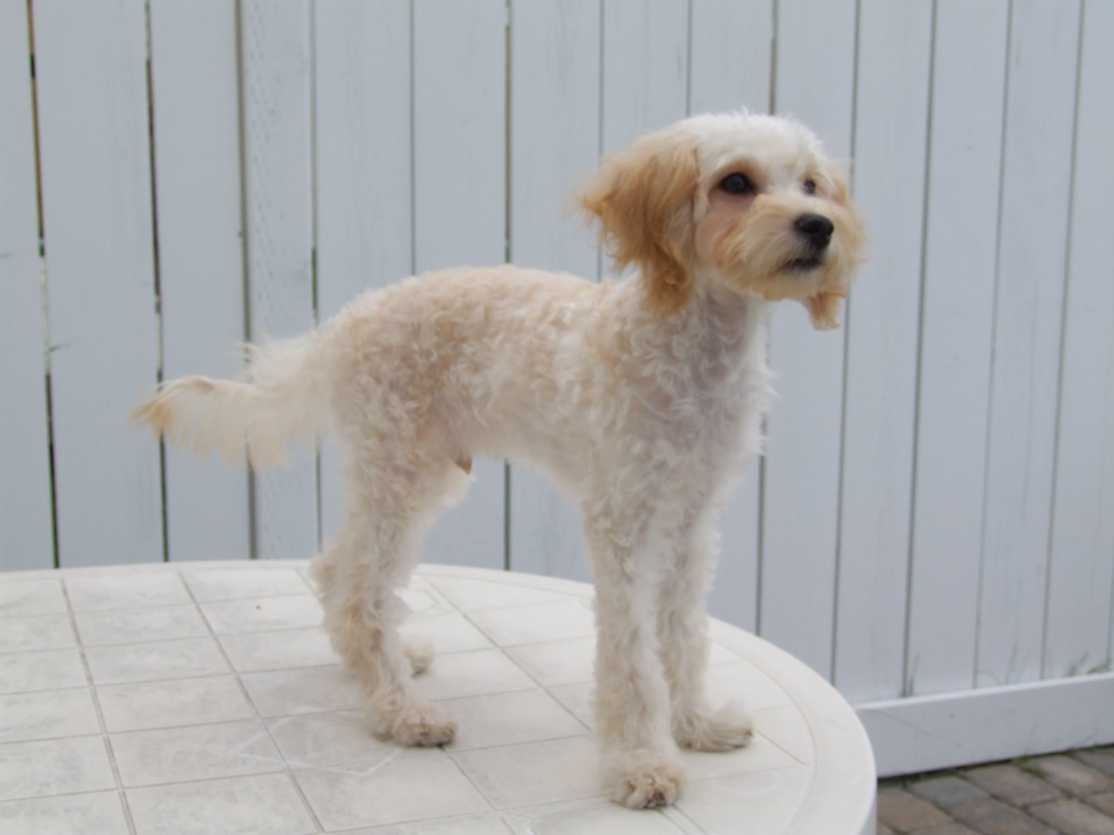 Maltese Poodle Haircuts photo - 1