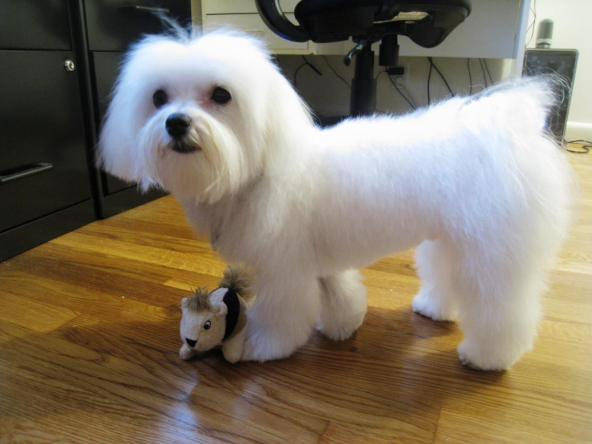 Maltese Poodle Hairstyles photo - 2
